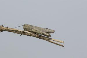Egyptische treksprinkhaan