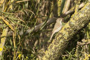 Kleine spotvogel