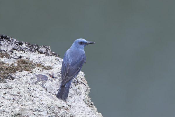 Blauwe rotslijster Les Alpilles zomereditie