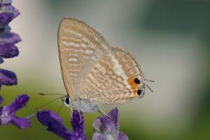 Tijgerblauwtje imago