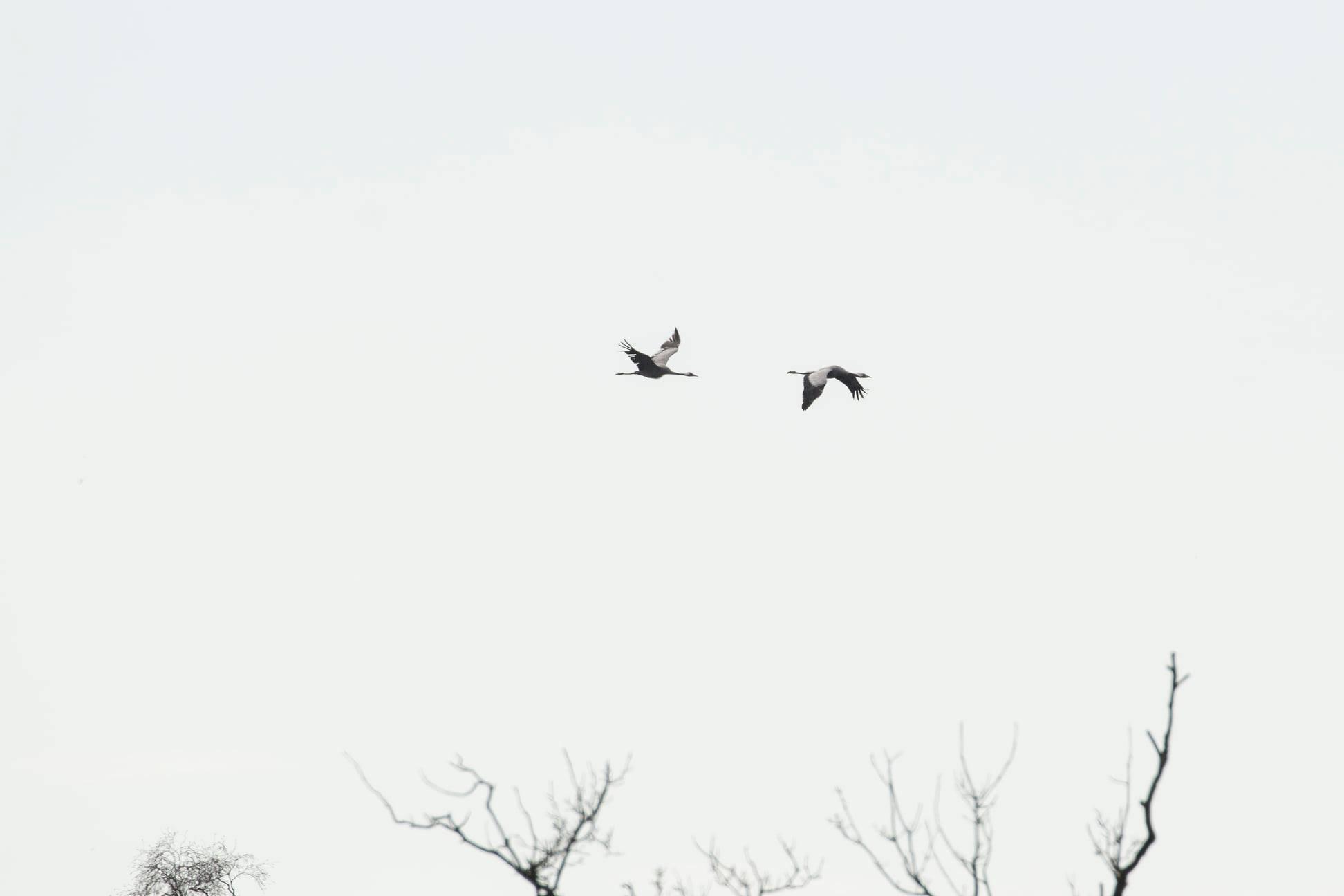 Kraanvogels Korenburgerveen