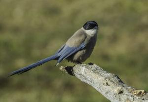 Blauwe ekster voorjaar in Extremadura