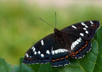 Grote IJsvogelvlinder Vlinderen in de Viroinvallei