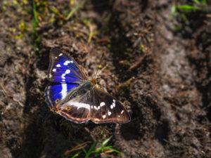 Kleine Weerschijnvlinder Vlinderen in Viroinval