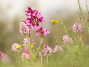 Wilde Orchideeën voorjaar in Extremadura