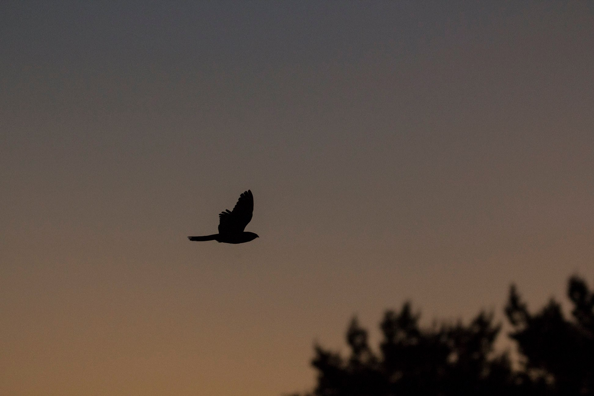 Nachtzwaluw vliegend  in de schemer