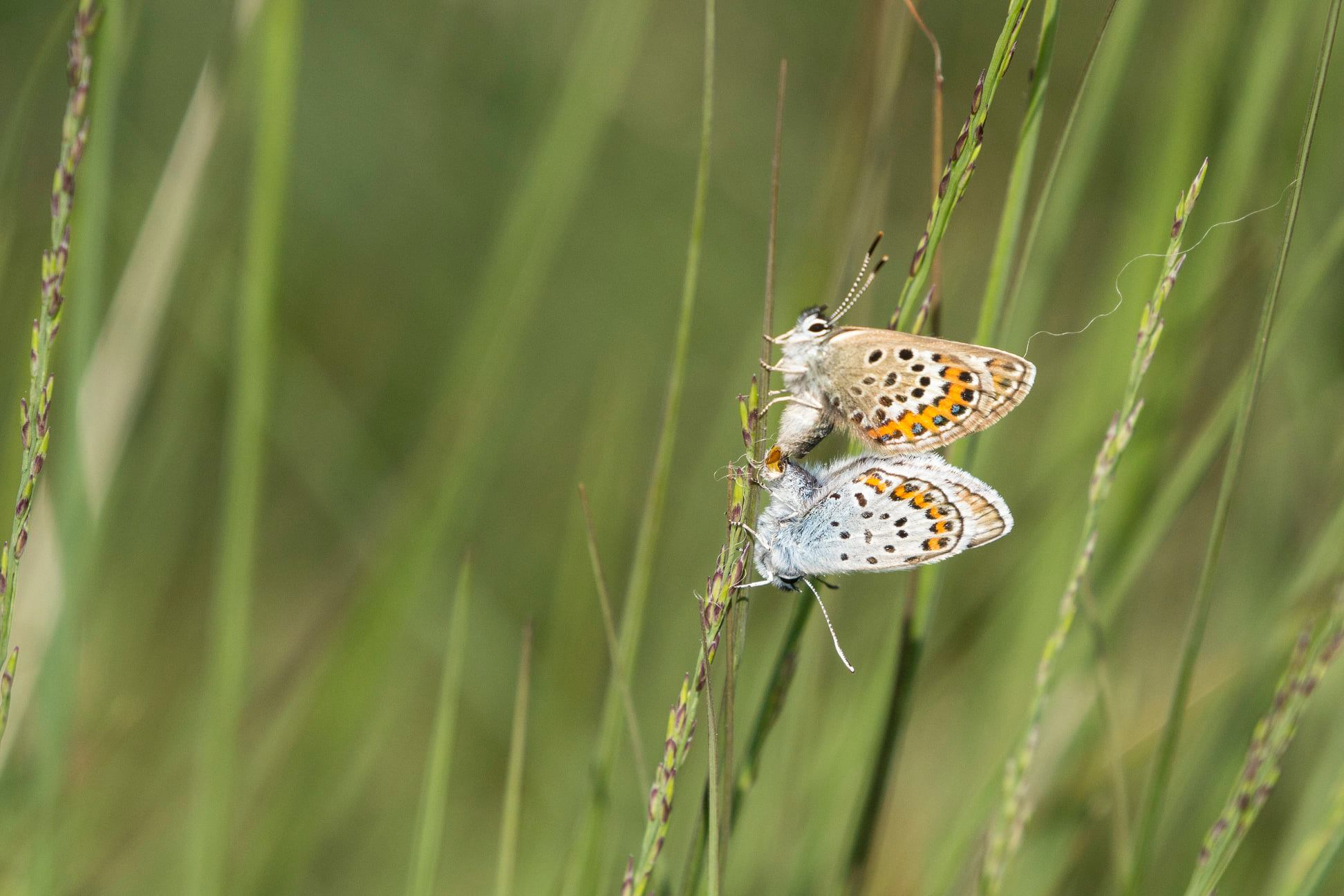 Heideblauwtje in copula