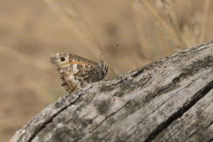 Heivlinder wild van de Veluwe