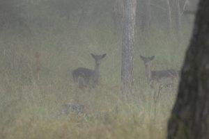 Jonge edelhert mannetjes in de ochtend mist op de Veluwe