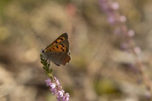 Kleine vuurvlinder op bloeiende heide wild van de Veluwe