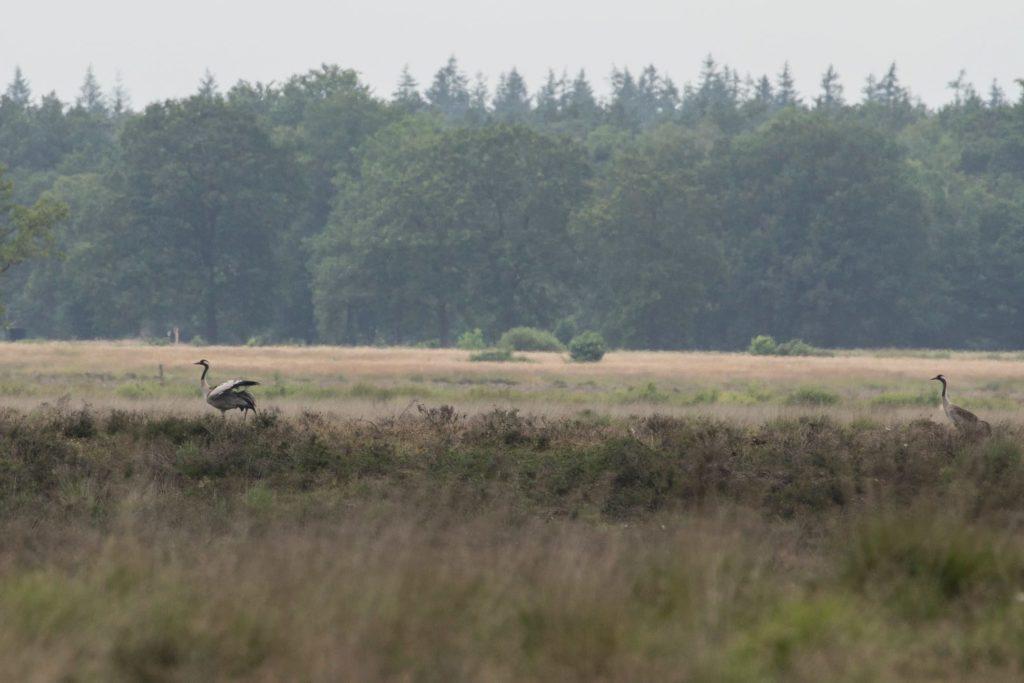 Kraanvogel op het Dwingelderveld