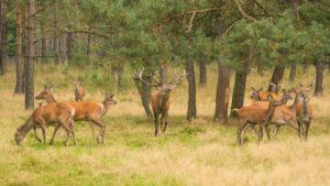 Edelhert met hindes Wild van de Veluwe