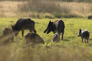 Groep met wilde zwijnen wild van de Veluwe