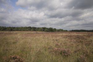 Heide in bloei Wild van de Veluwe