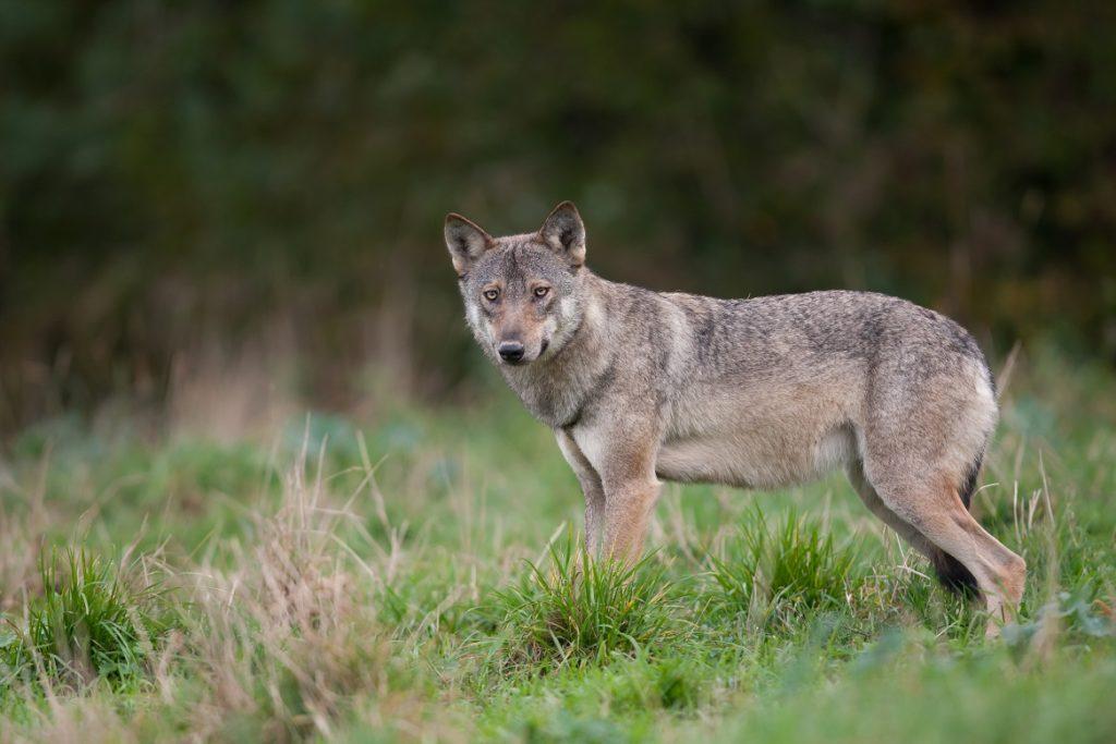 Wolf Nederland