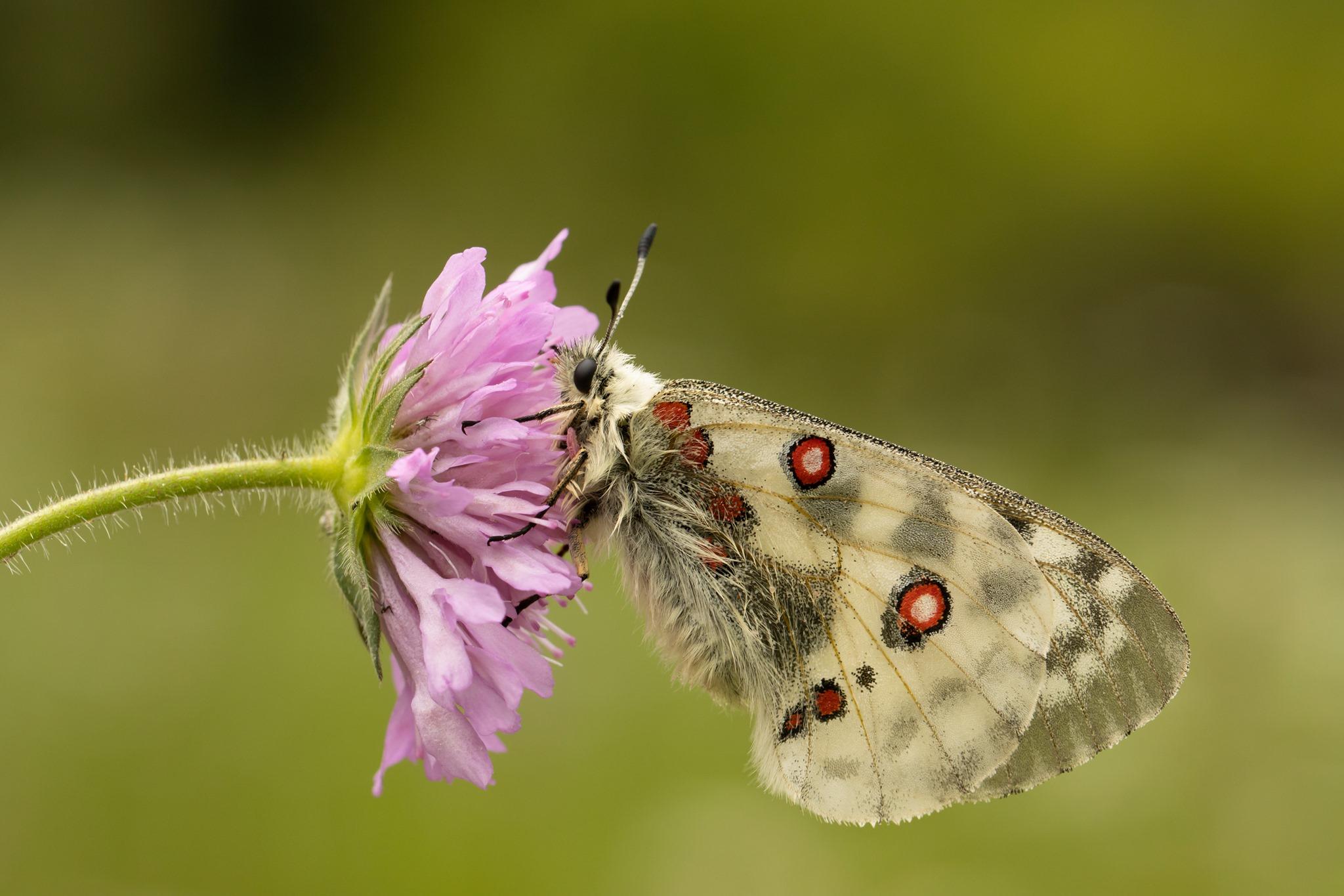 Apollovlinder op roze bloem van Beemdkroon