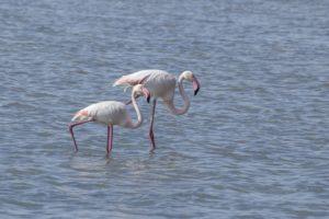 Flamingo;s