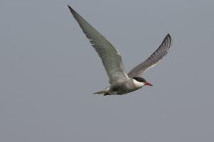 Witwangstern Vogelrijkdom op Lesbos