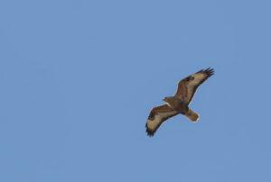 Arendbuizerd Vogelrijkdom op Lesbos
