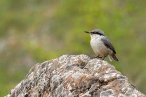 Rotsklever vogelrijkdom op Lesbos