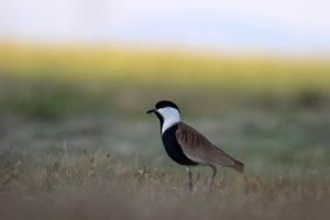 Sporenkievit vogelrijkdom op Lesbos