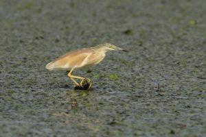 Ralreiger vogelrijkdom op Lesbos