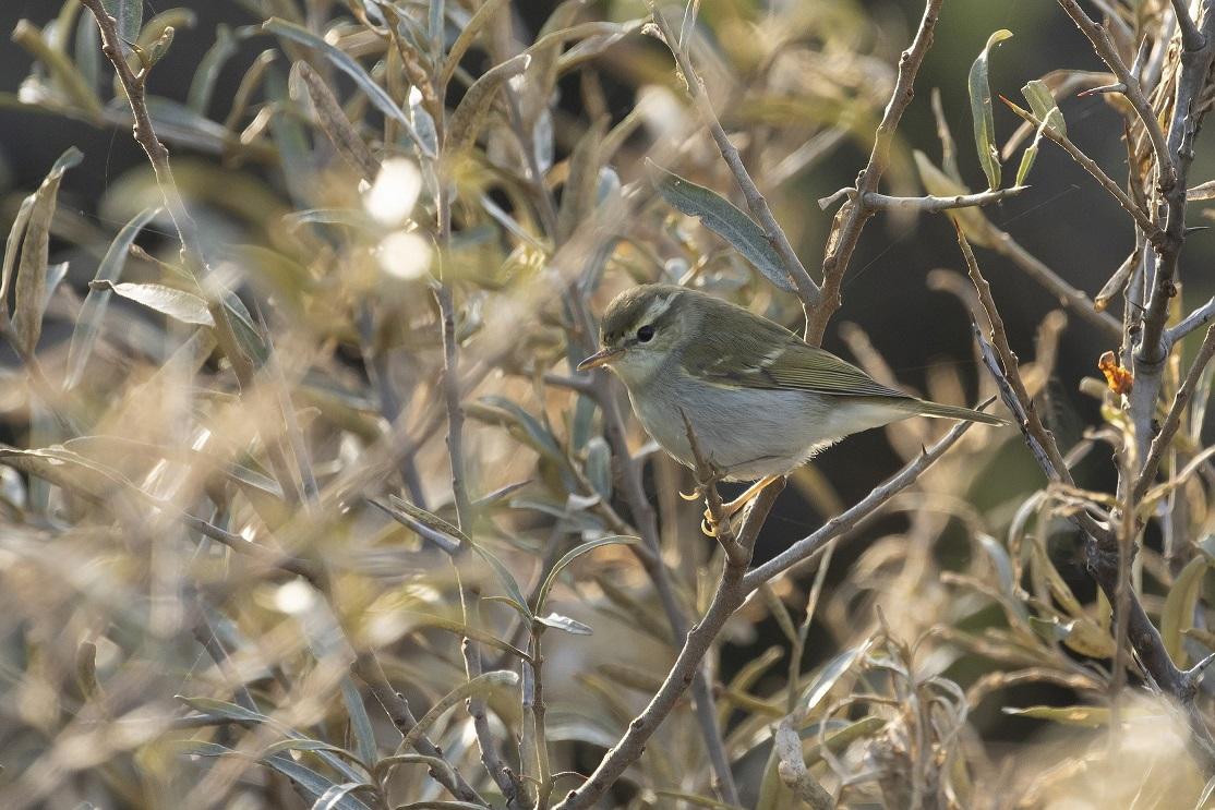 Swinhoesboszanger soortenlijst Natuur op Voorne Putten