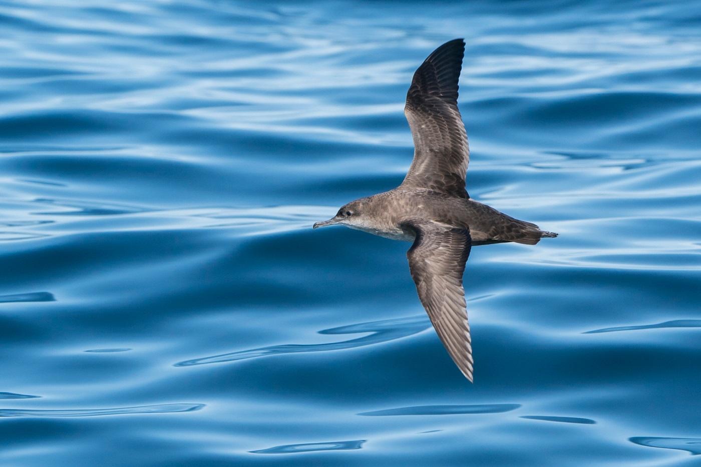 Vale pijlstormvogel zeevogels noordwest spanje
