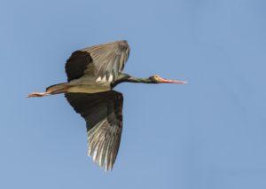 Zwarte Ooievaar vogelrijkdom op Lesbos