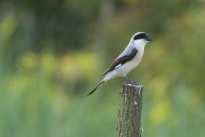 Kleine klapekster vogelrijkdom op Lesbos