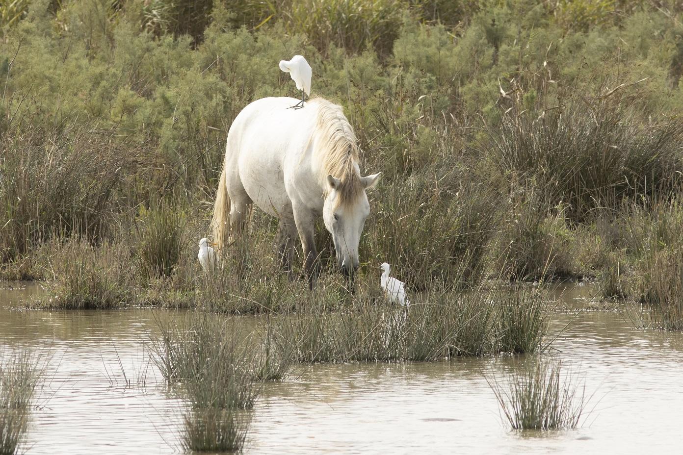 Paard met koereigers en Kleine zilverreiger Mallorca Albuferra