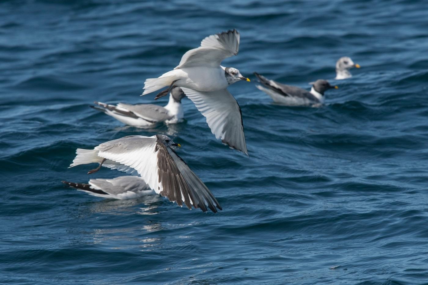 Vorkstaartmeeuwen soortenlijst zeevogels noordwest spanje